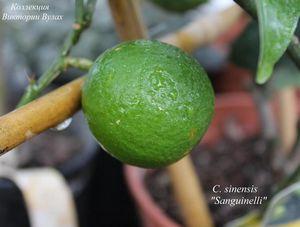 Апельсин сладкий (citrus sinensis)
