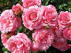 Болгарская роза. чудо из чудес