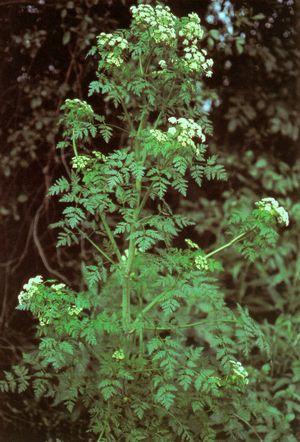 Болиголов: ботаническая справка