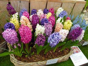 Гиацинты — цветы, символизирующие спокойствие