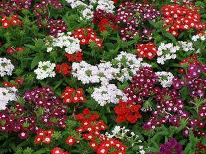 Колдовское зелье, цветок обольщения и богатства