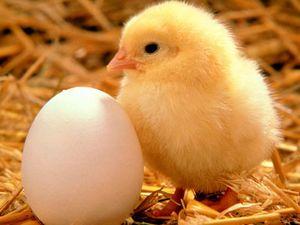 Куринные яйца - может пора отказаться?