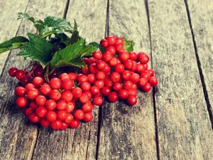Полезные свойства ягоды калины (+3 народных рецепта)