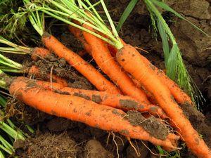 Полезные свойства моркови: как её сохранить и приготовить