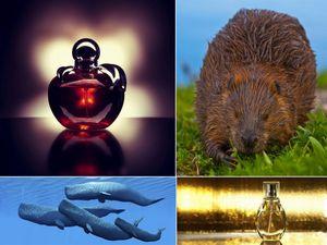 Животные вещества в парфюмерии